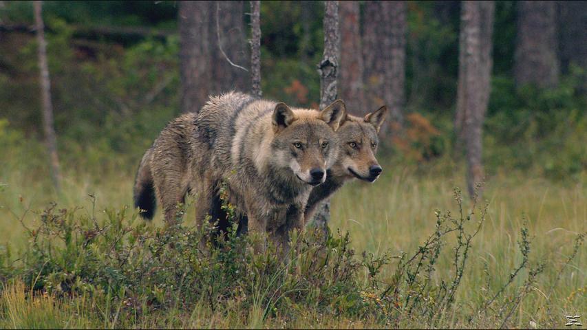 In Skandinaviens Wäldern - Die Bärenbande - (Blu-ray)