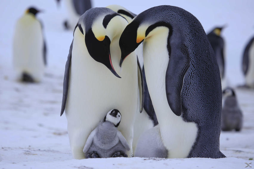 Pinguine Hautnah - (Blu-ray)