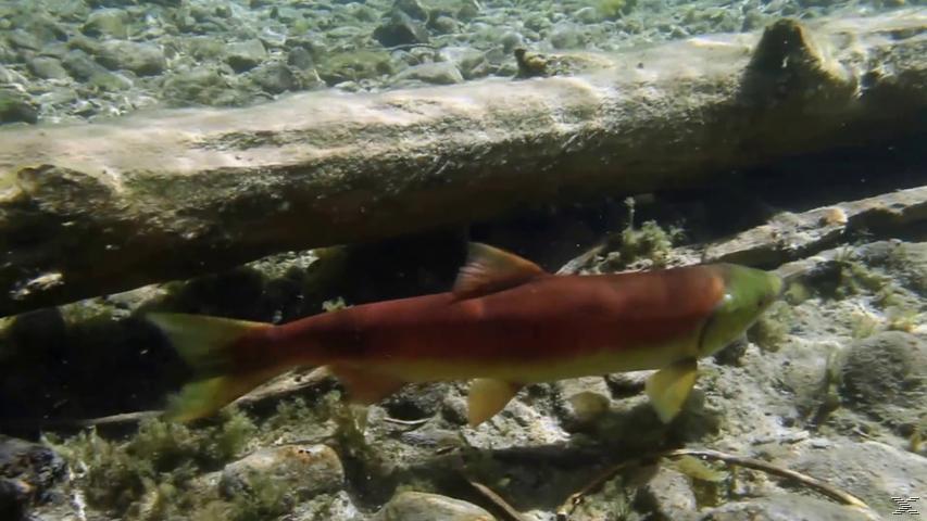 Das Universum der Fische [Blu-ray]