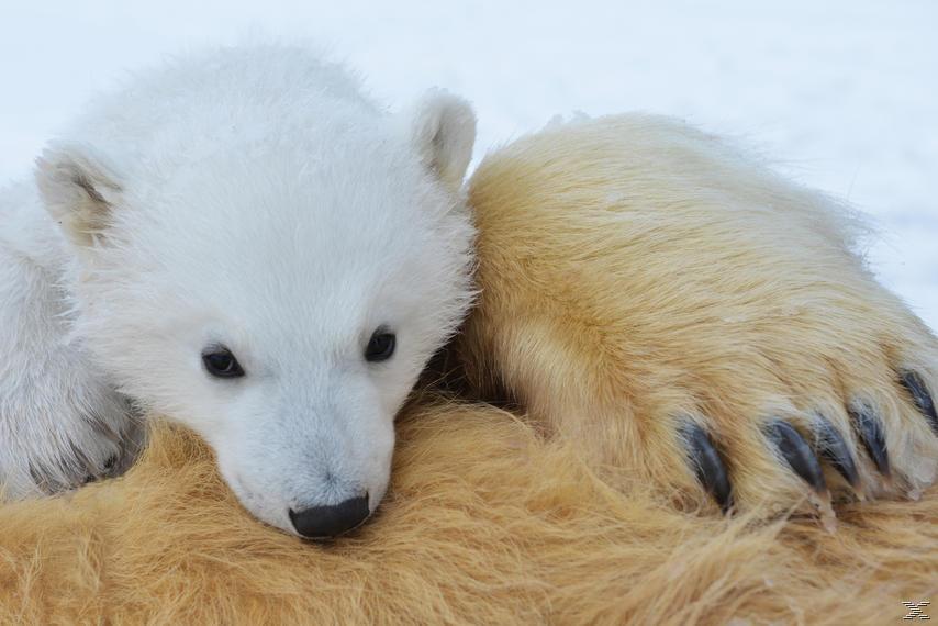 Unter Eisbären - Überleben in der Arktis - (DVD)
