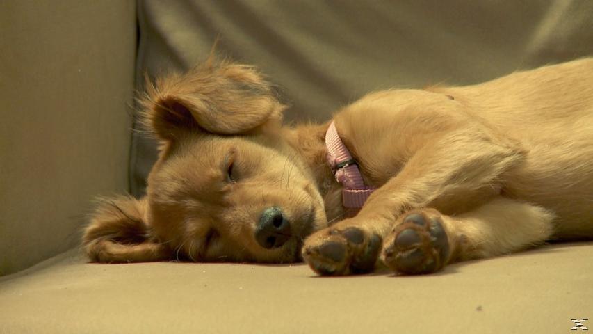 Dog TV - Wenn Ihr Hund allein Ist - (DVD)