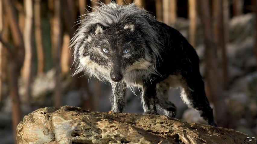 Peter & der Wolf - (Blu-ray)