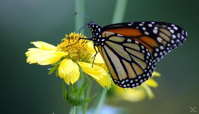 Die Reise des Schmetterlings - (DVD)